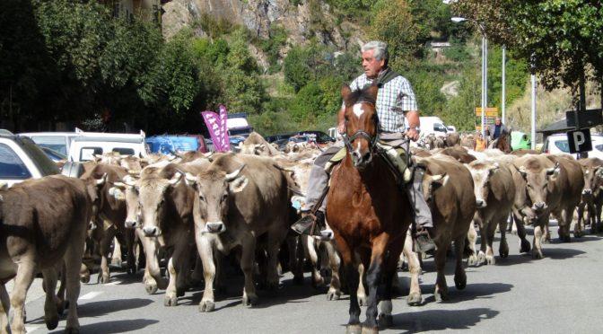 Bajada de vacas 2016